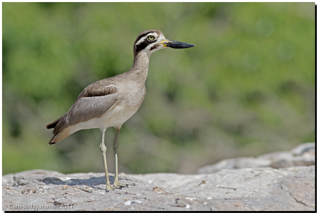 Indian Thick-knee or Indian Stone-curlew - Burhinus (oedicnemus ...