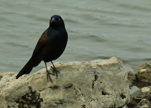 Eagle-eyed Grackle