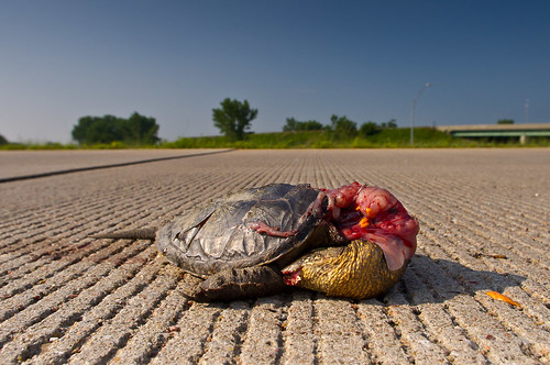Why did the turtle cross the road? Why?