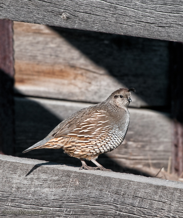 Female California Valley Quail - Barn Wood