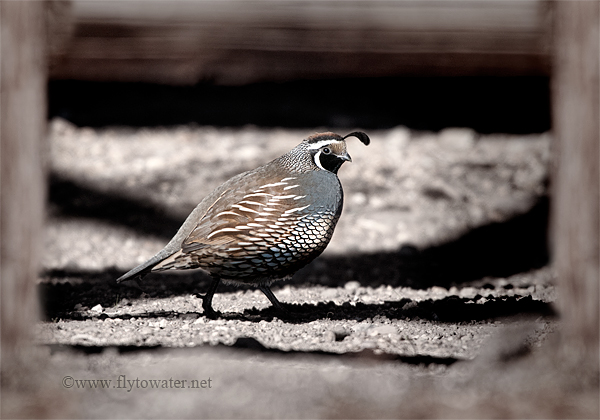 Male California Valley Quail - Framed by Old Fence