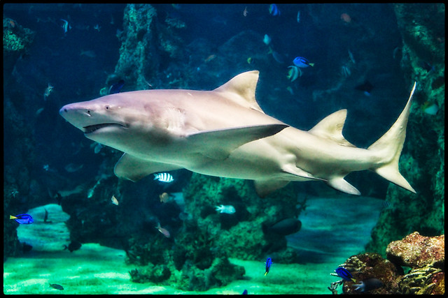 White Shark, Sydney Aquarium   Flickr - Photo Sharing!