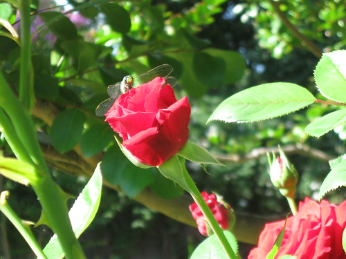 Red Rose and Dragonfly