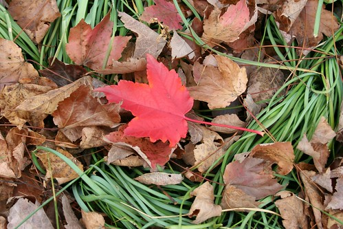 Lost Red Leaf