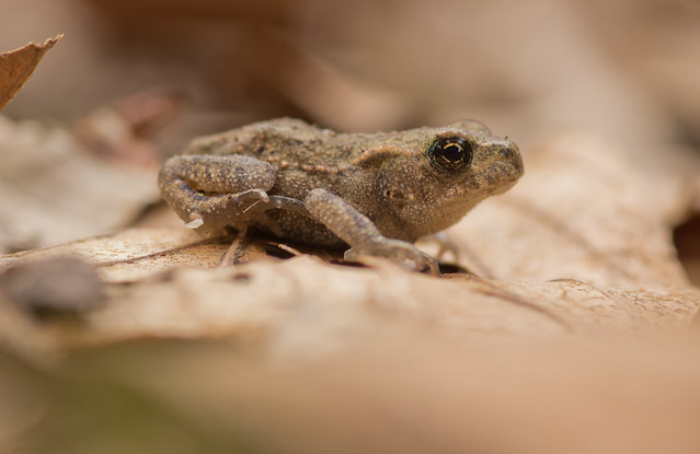 common toadlet 6