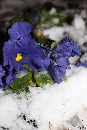 Flor y nieve
