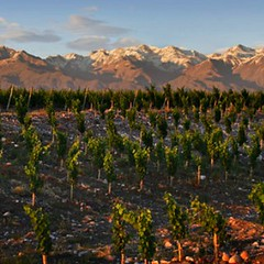 Argentina finds home for Sauvignon Blanc