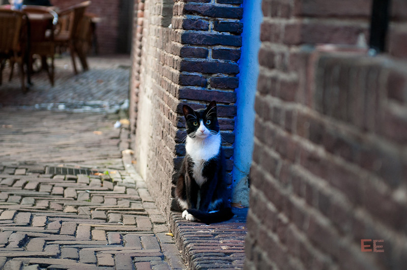 dutch kitty