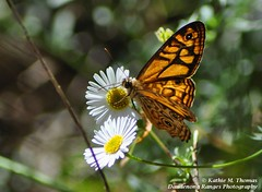 Common Brown Butterfly P52-4