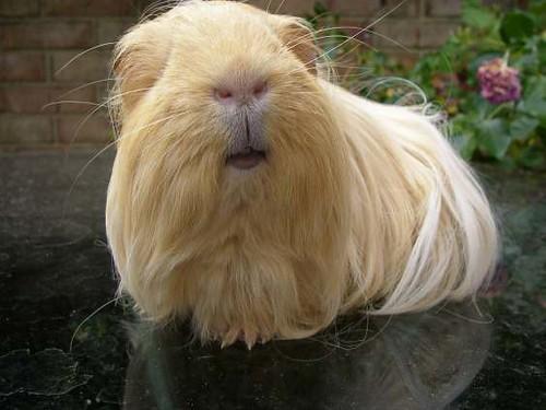 Dougal the guinea pig