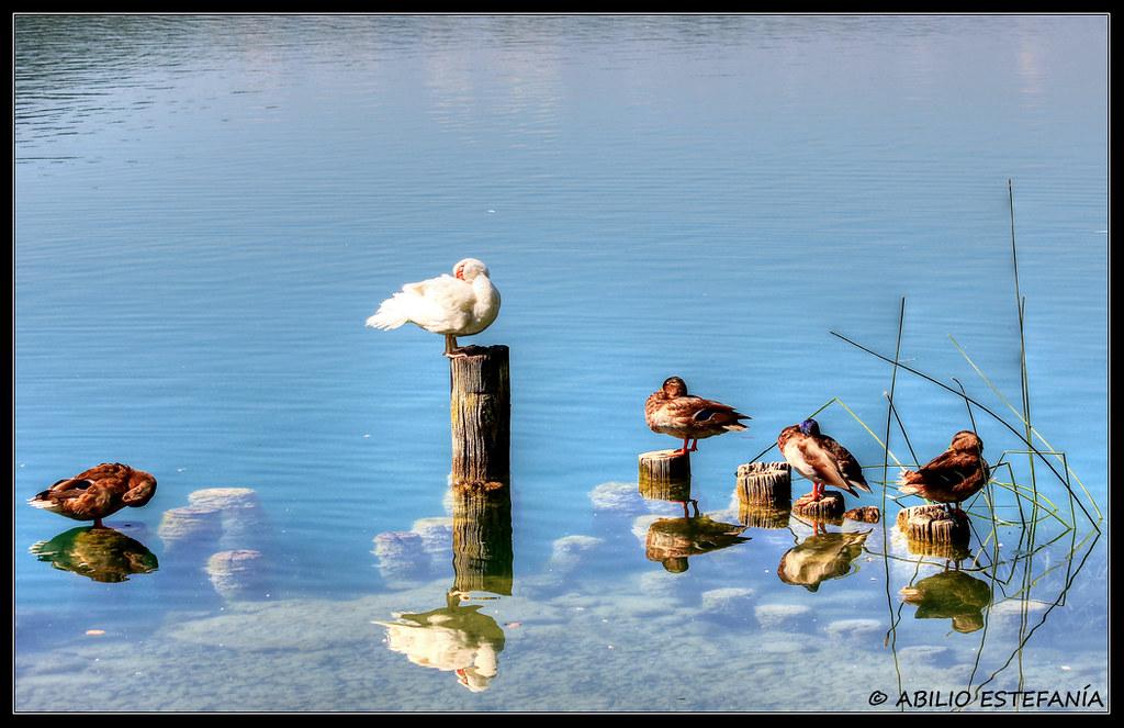 Patos guardando el equilibrio