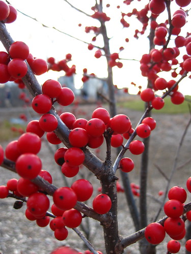 Winterberry with a View of Rosslyn
