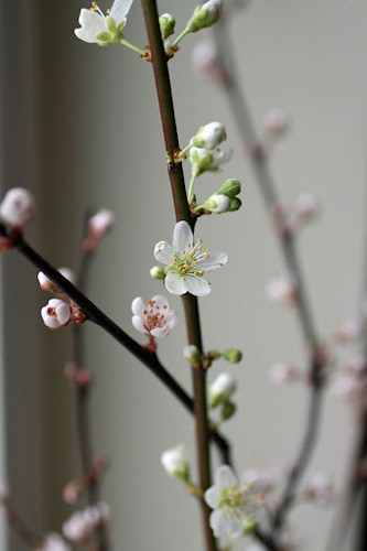 Plum blooming branches