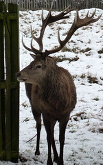 Deer and its antlers