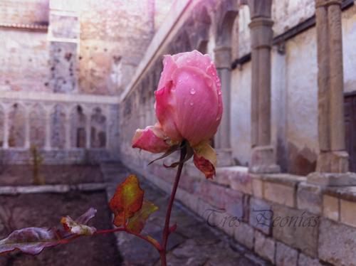 Rosa en el claustro