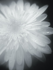 Translucent marguerite