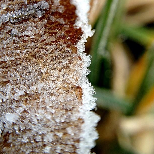 37/365+1 Hoar Frost Morning #frost #olloclip #macro