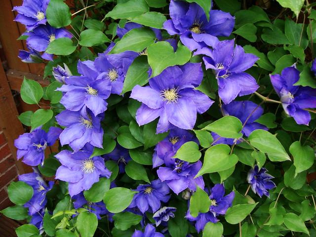 Week 6 - Purple clematis
