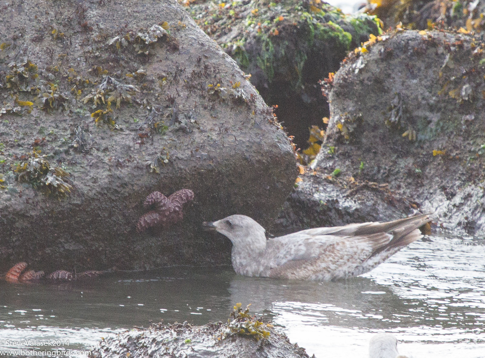 Immature Gull and Sea Star