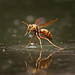 Paper Wasp - Polistes aurifer by sailingsue