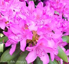 Sandra's Alaska Photography: May 2016 Rhody Blossoms...