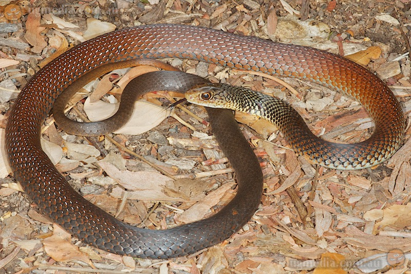 Lesser black whipsnake (Demansia vestigiata)