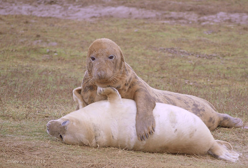 Seal mum and pup by yvonnepay615