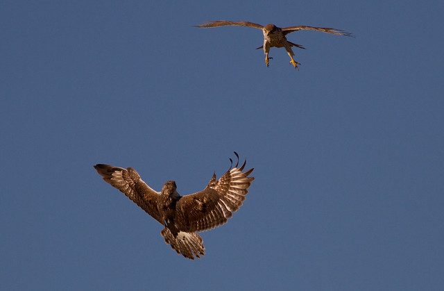 Difference Between Eagle and Hawk  Difference Between