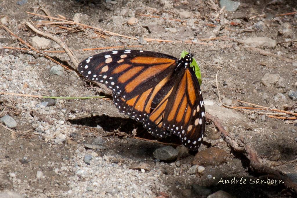 Monarch Butterfly (Danaus plexippus)-2.jpg