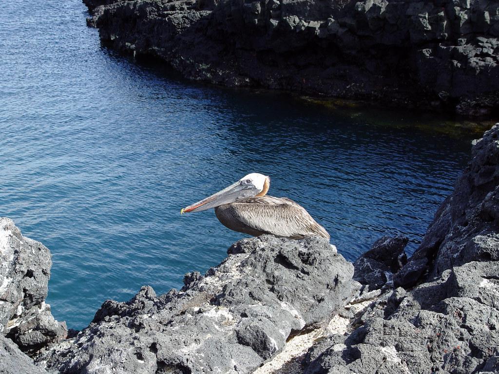 DSC00864 Galápagos Brown Pelican