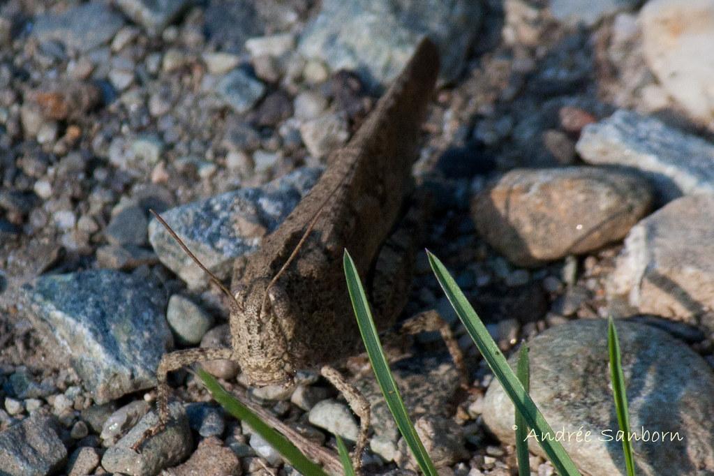 Carolina Grasshopper (Dissosteira carolina)-4.jpg