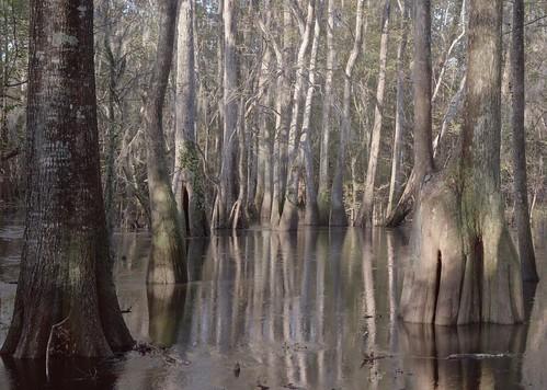 southcarolina swamp 4x5 lowcountry largeformatphotography largeformatlandscape scanningback 4x5scanningback