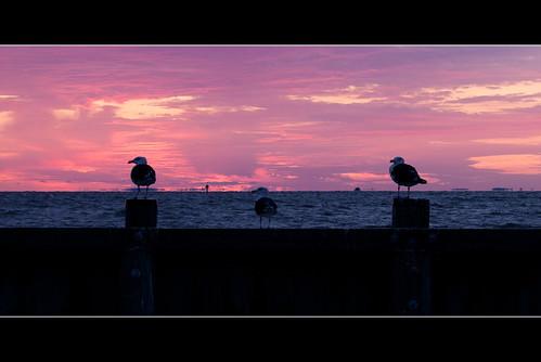 morning pink seagulls bird water birds animal sunrise dawn maryland chesapeake calvert chesapeakebay calvertcounty pierchesapeakebaychesapeakebeachdawnmorningsunrise