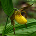 Large Yellow Lady's-slipper - Photo (c) Tom Potterfield, some rights reserved (CC BY-NC-SA)