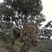 Almacenamiento de zacate en un árbol - corn stalks stored in a tree; entre San Francisco Cahuacuá y San Felipe Zapotitlán, Oaxaca, Mexico por Lon&Queta