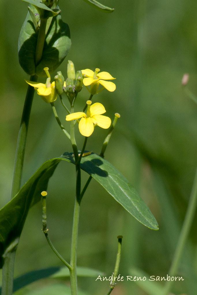 Field Mustard (Rape Mustard) (Brassica rapa)-2.jpg