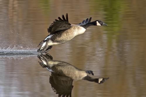 [フリー画像素材] 動物 2, 鳥類, 雁・ガン, 鳥類 - 飛ぶ, 反射・鏡像 ID:201112280400