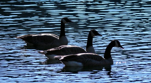 california lake bird geese goose berrycreek lakemadrone