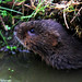 Water Vole by mark1309 / Mark Andrews Photography