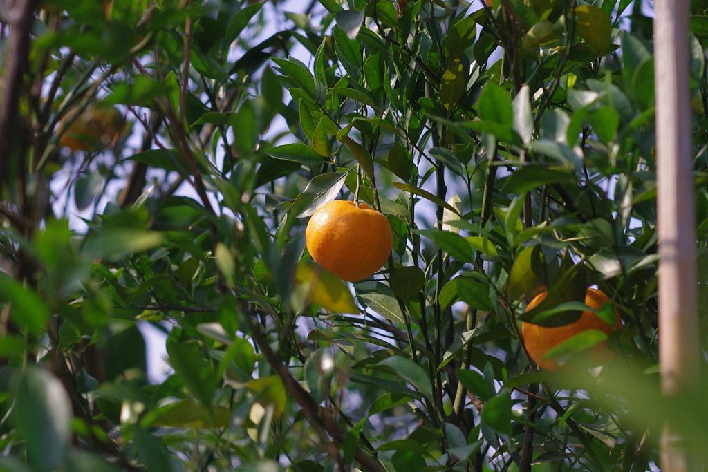採完草莓採橘子