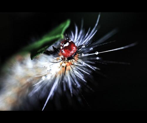 [macro] caterpillar with droplet