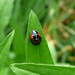 Small photo of Two-spot Ladybird. Adalia bipunctata.