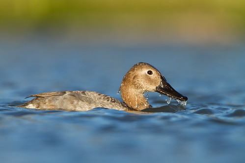 Canvasback | by Seth Patterson
