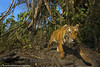 Tiger walks past a camera trap in Kaziranga