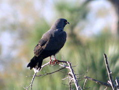 Snail Kite, near Grassy Waters, FL