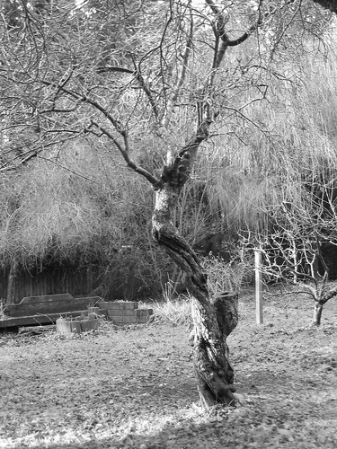 plum tree photo, #1