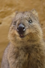 wombat(0.0), squirrel(0.0), fox squirrel(0.0), animal(1.0), rodent(1.0), marsupial(1.0), fauna(1.0), close-up(1.0), whiskers(1.0), wildlife(1.0),