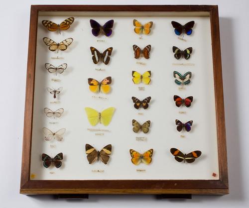 Butterfly specimen board