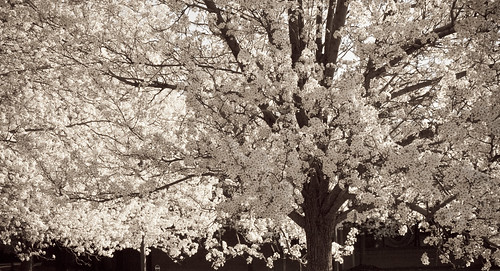 trees blossom canalview
