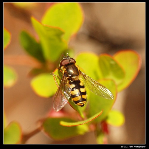 Unknown Syrphid Fly (Family Syrphidae)